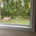 For the first time ever I had a better chance shooting a buck on the couch than in the field.  This guy came walking by my window.  Bad pic but he was about a 130